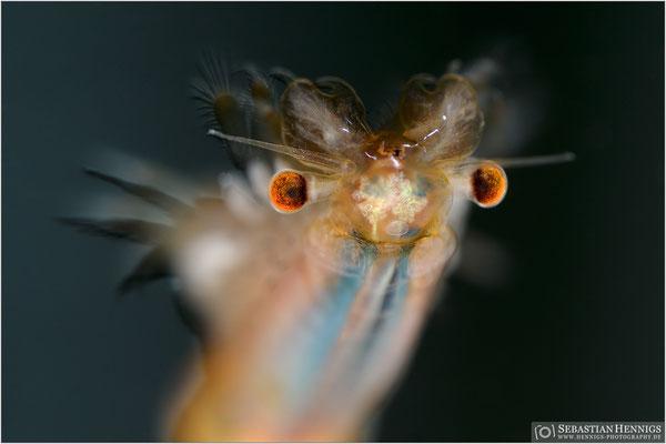 Frühjahrs-Feenkrebs (Eubranchipus grubii)