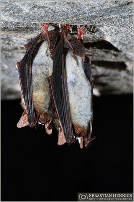 Große Mausohren (Myotis myotis)