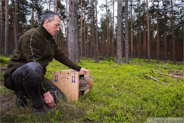 Freilassung der schwedischen Hennen