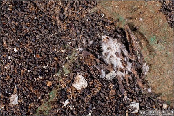 Totes Großes Mausohr im Fledermauskot