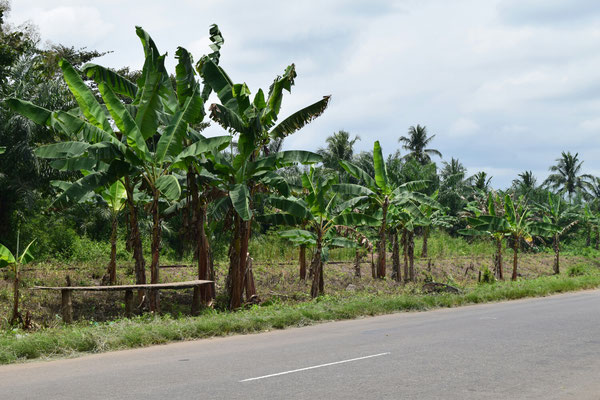 Bananenstauden am Straßenrand