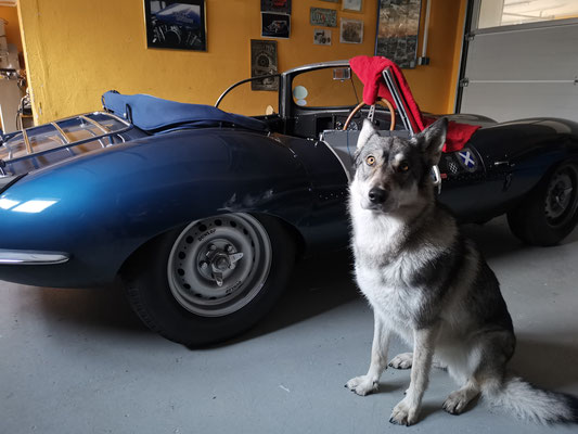 Woelfchen Milli gefaellt der Jaguar XKSS