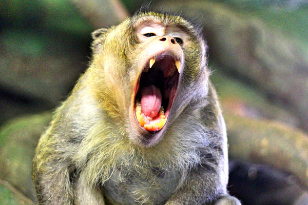 Yawning monkey at the zoo in Daugavpils, Latvia