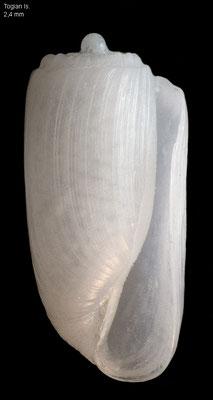Retusa spec.4 -  Indonesia, Togian Isl. 10/2010 (Fam. Retusidae)