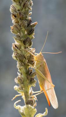 Tettigonia viridissima - Zornheim, Garten 8/2017 (Grünes Heupferd, Farbvariante)