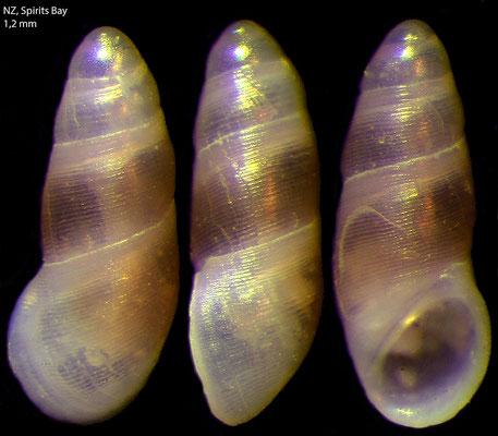 Microdryas striatus - NZ, Spirits Bay 12/2012 (Anabathridae)