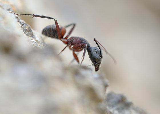 Camponotus ligniperdus - Narbonne-Plage, Massif de la Clape 4/2016 (Braunschwarze Rossameise)