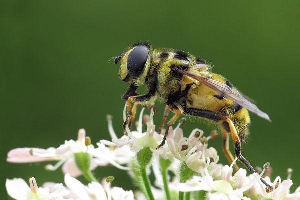 Myathropa florea - Bretagne, Landéda, Prat al Lann, Waldweg 6/2011 (Gemeine Dolden-Schwebfliege)