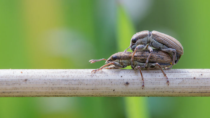 Sitona cf lepidus - Zornheim, Garten 4/2016 (Rotklee-Blattrandrüssler)