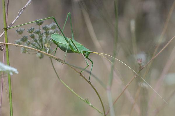Acrometopa macropoda - Kroatien, Losinj 6/2014 (Langbeinige Sichelschrecke)