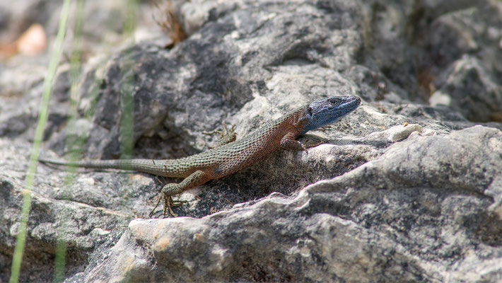 Algyroides nigropunctatus - Kroatien, Losinj 6/2014 (Pracht-Kieleidechse)