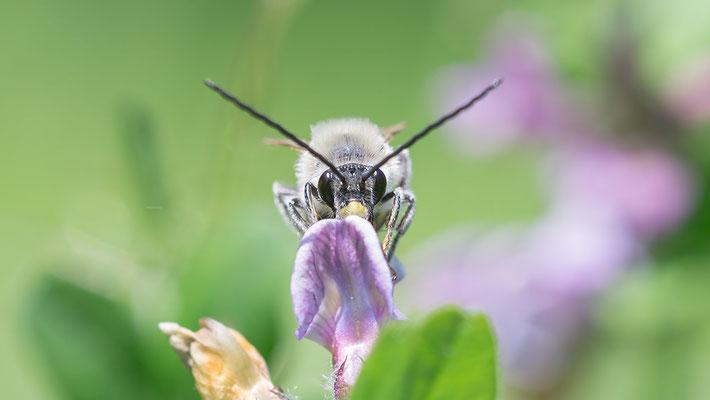 Eucera nigrescens - Sörgenloch, Selz 5/2016 (Mai-Langhornbiene)