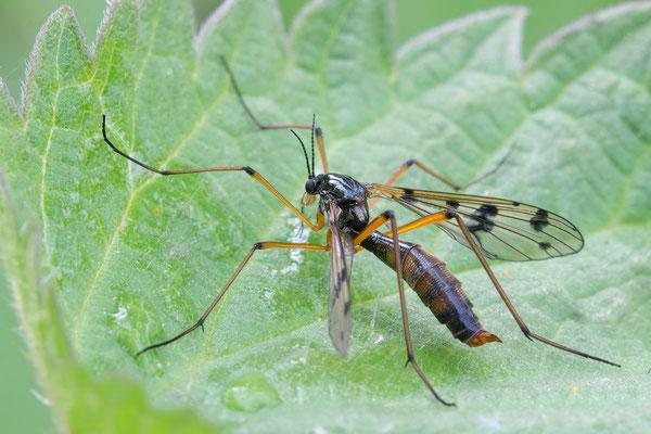 Ptychoptera cf. contaminata - Eich, Altrhein 5/2017 (Fam. Faltenmücken)
