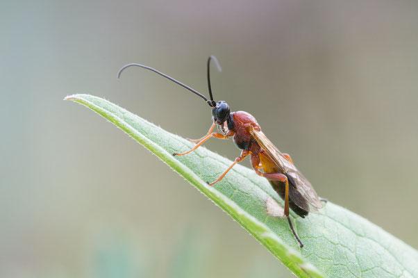 Ichneumonidae Genus?Species? - Zornheim, Garten 7/2017 (Fam. Schlupfwespen)