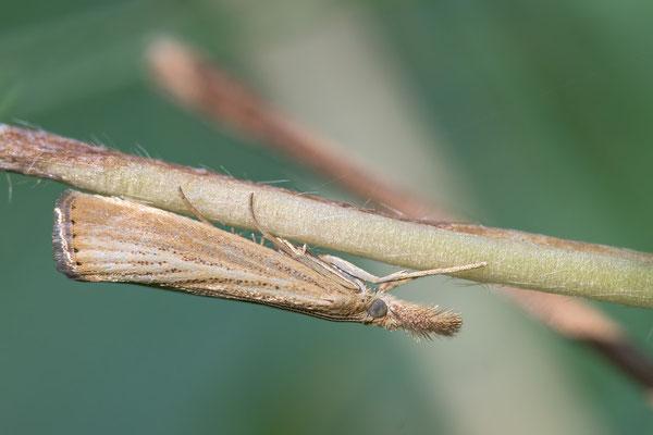 Agriphila straminella - Zornheim, Garten 7/2013