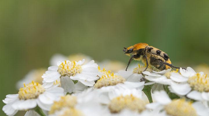 Trichius zonatus - Zornheim, Garten 6/2015 (Pinselkäfer)