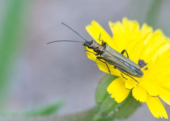 Oedemera nobilis ♀ - Narbonne-Plage, Massif-de-la-Clape 5/2016 (Grüner Scheinbockkäfer)