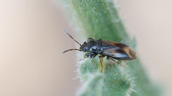 Megalonotus praetextatus - Kroatien, Cres, Martinscica, Camp Slatina 6/2017 (Rhyparochromidae)