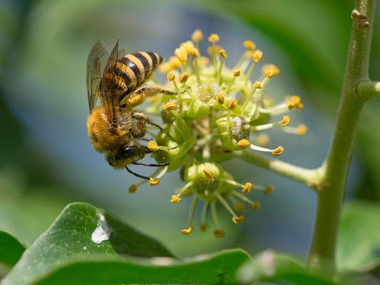 Colletes hederae - Zornheim, Garten 9/2016 (Efeu-Seidenbeine)