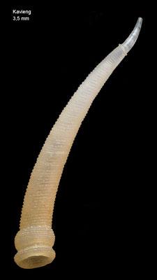 Parastrophia megadattilida - Papua New Guinea, Kavieng 2012