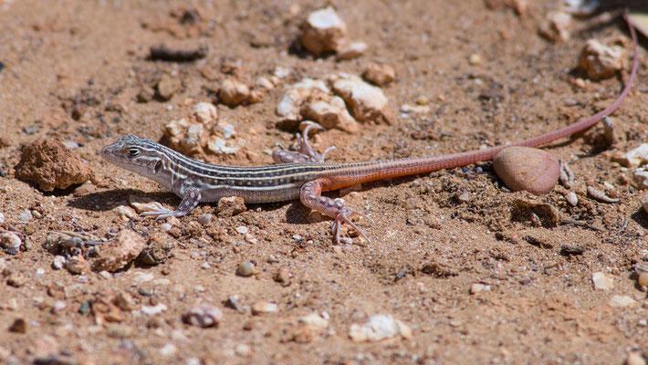 Acanthodactylus erythrurus - Spanien, Conil de la Frontera 6/2015 (Europäischer Fransenfinger, jung)