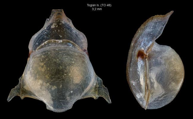 Diacavolinia grayi - Indonesia, Gulf of Tomini, Kep. Togian, 8 m, 10/2010