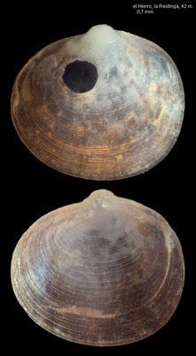 Neolepton moolenbeeki - Canary Isl., el Hierro, la Restinga, 42 m, summer 2000 (Fam. Neoleptonidae)