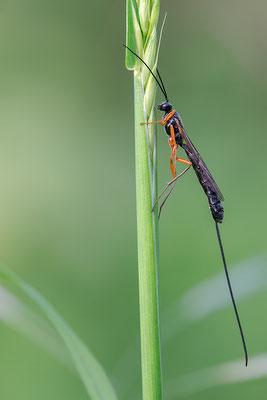 Dolichomitus cf. messor - Zornheim, Garten 5/2015 (Fam. Schlupfwespen)