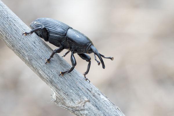 Scyphophorus acupunctatus - Spanien, Costa Brava, Camping Port de la Vall 5/2018 (Agavenrüssler)