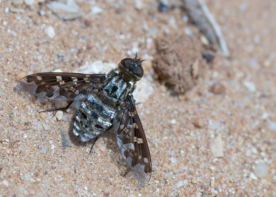 Exoprosopa jacchus - Spanien, Conil-de-la-Frontera 6/2015 (Fam. Wollschweber)