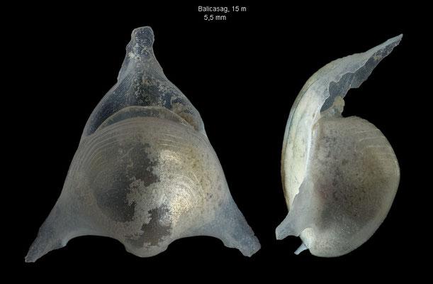 Diacavolinia triangulata - Philippines, Balicasag, 15 m 1/2013