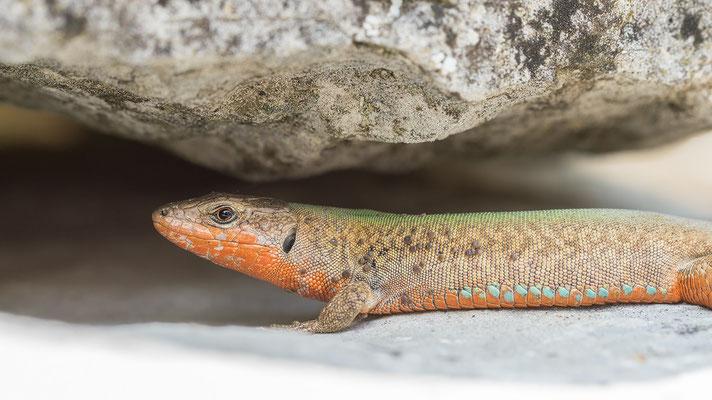 Podarcis melisellensis - Kroatien, Losinj, nahe Osor 6/2014 (Adriatische Mauereidechse)