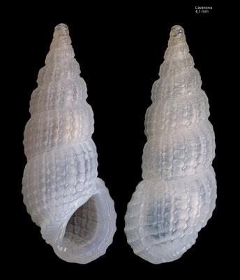 Phosinella transenna F - Madagascar, Lavanona 2015