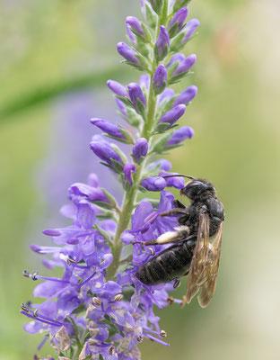 Andrena pilipes - Zornheim, Garten 7/2014 (Kohlschwarze Sandbiene)