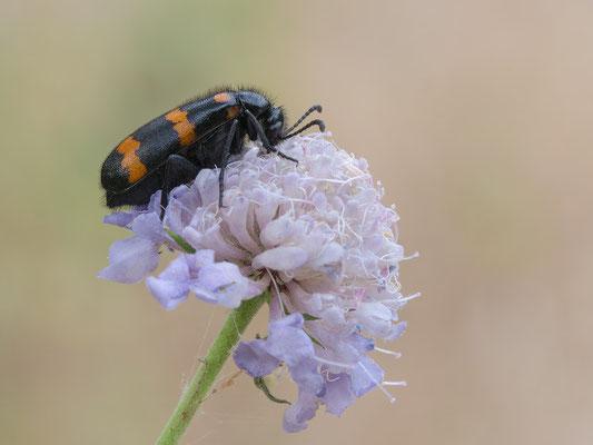 Mylabris variabilis - Kroatien, Losinj 6/2014 (Veränderlicher Ölkäfer) 2