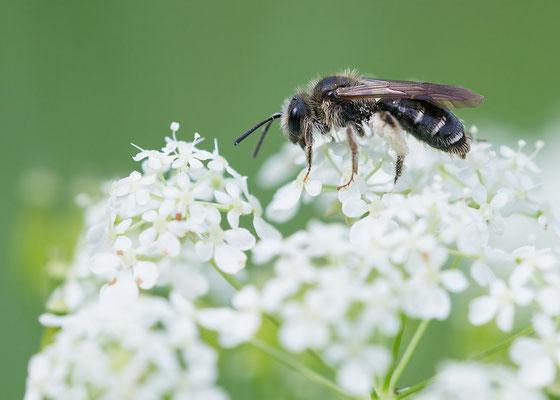 Andrena proxima - Zornheim, Garten 5/2016 (Frühe Doldensandbiene)