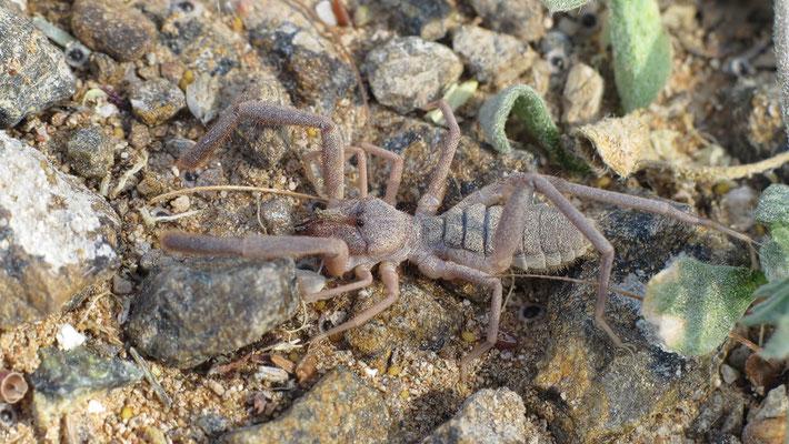 Karschia species - VAE, Dibba 2/2014 (Walzenspinne)
