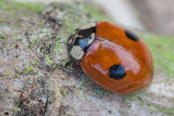 Adalia bipunctata - Zornheim, Garten 3/2018 (Zweipunkt-Marienkäfer)