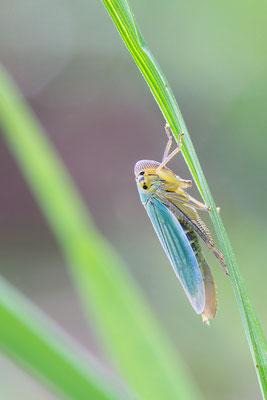 Cicadella viridis - Zornheim, Teichgebiet 8/2015 (Binsenschmuckzikade)