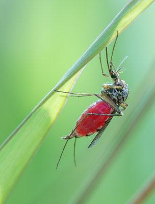 Aedes cf vexans - Hergershausen, Feuchtwiese 7/2016 (ev. Rheinschnake)