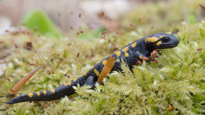 Salamandra salamandra - Schaafheim, Laubwald 4/2014 (Feuersalamander)
