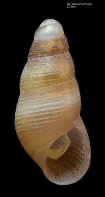 Fictonoba carnosa - New Zealand, Mahia Peninsula 1/1981
