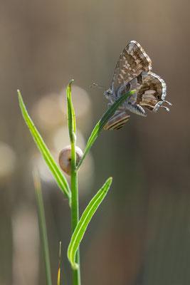 Cacyreus marshalli - Spanien, l´Escala, Waldrand 6/2019 (Pelargonien-Bläuling)