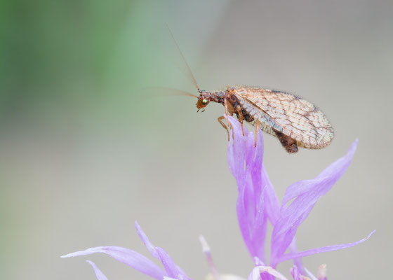 Micromus angulatus - Mainz, Düne 10/2017 (Fam. Taghafte)