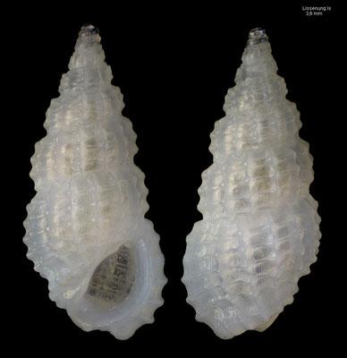 Phosinella spec.5 - Papua New Guinea, Lissenung Isl.,  ca. 4 m 12/2012