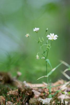 Stellaria holostea - Mörsfeld, Waldrand 4/2018 (Große Sternmiere)