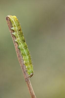Phlogophora meticulosa - Zornheim, Garten 1/2015 (Achateule)