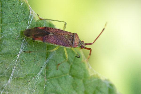 Pantilius tunicatus -  Zornheim, Hecke im Feld 9/2016