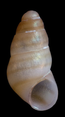Barleeia microthyra - Mauritius, Gris Gris, beach 12/2012 size: 1,4 mm