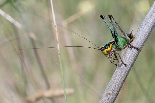 Eupholidoptera chabrieri ♂ - Kroatien, Cres, Martincsica 6/2017 (Grüne Strauchschrecke)